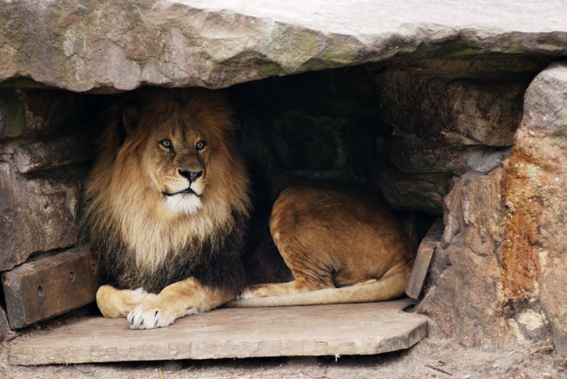 Férfiak az oroszlánbarlangban